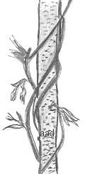 Drawing of a Vine