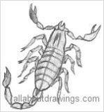 Scorpion Drawings