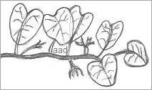 Drawing of a Squash Vine