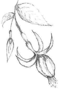 Fuchsia Drawing