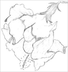 Drawings Of Hibiscus