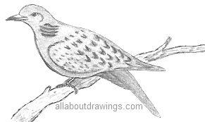 Dove Drawing Turtledove