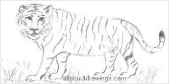 Tiger Drawings