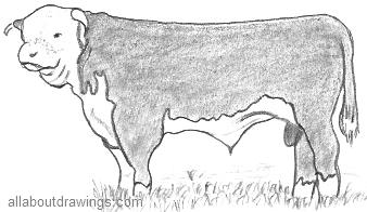 Hereford Bull Drawing