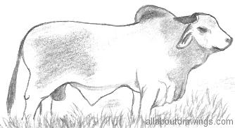 Brahman Bull Drawing