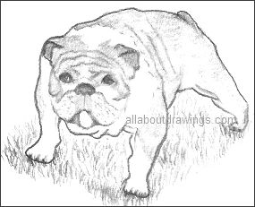 Bulldog Drawing