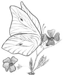 http://www.allaboutdrawings.com/image-files/butterfly-drawings-aboutme.jpg