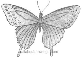 Butterfly Pencil Drawing