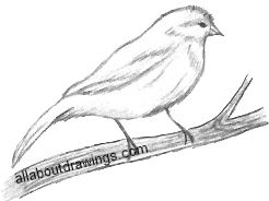 Canary Drawing