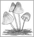 Common Mushroom Drawing