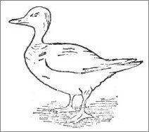 Duck Drawing