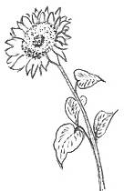 Drawing Of A Blossom