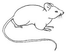 Drawing Of A Mouse