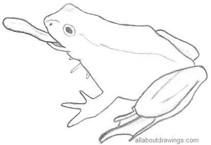 Frog Sketch Drawing Frog Drawings