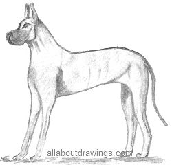 Great Dane Dog Drawing