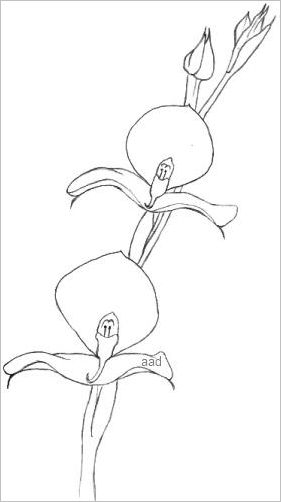 Orchid Outline Drawing