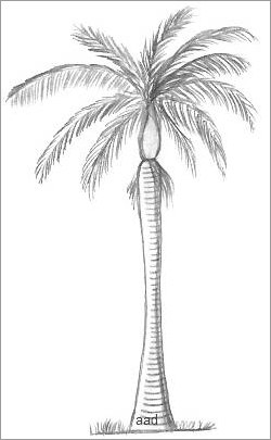 royal palm tree drawing