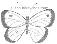 Pencil Drawing Butterfly