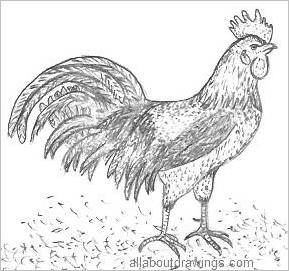 Pencil Drawing Of A Rooster