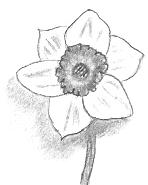 A Daffodil Drawing