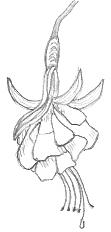 A Drawing Of A Fuchsia