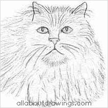 Persian Cat Drawing
