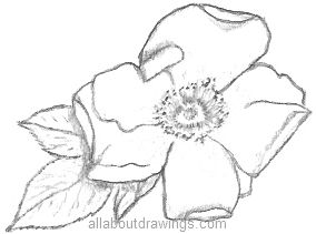 http://www.allaboutdrawings.com/image-files/rose-flower-drawing.jpg