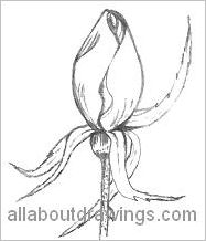 Rosebud Drawing