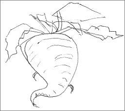 Rough Sketch of a Turnip