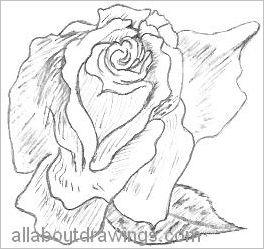 Sketch Of A Rose