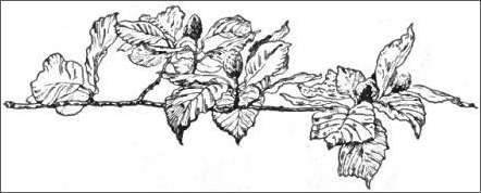Vine Drawing