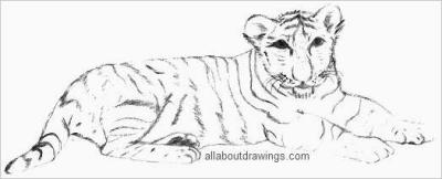 Tiger Cub Drawing