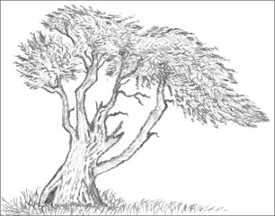 cypress tree drawing - Tree Drawings
