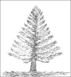 Pine Tree Drawing