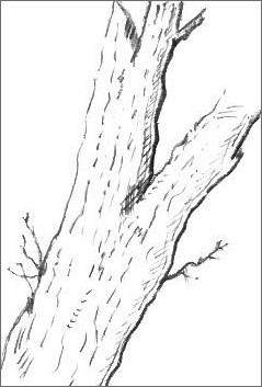 Gallery For gt Line Drawing Of A Tree Trunk