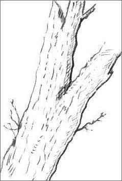 Tree Trunk Drawing
