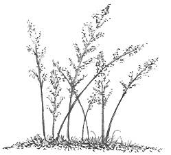 Weed Grass Drawing