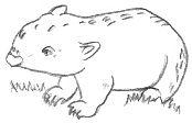 Wombat Drawing