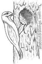 Woodpecker Drawing