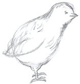 Chick Drawing Step 5