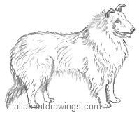Collie Drawing