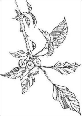 Crabapple Drawing