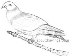 Dove Drawings