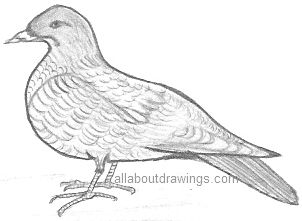Drawing Of A Dove