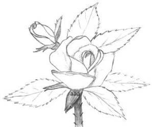 Drawings Of Roses In Pencil