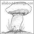 Field Mushroom Drawing