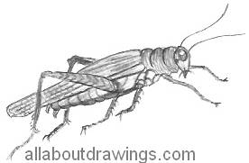 how to draw a grasshopper easy