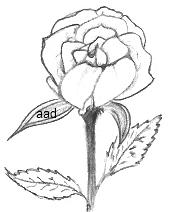 Miniature Rose Drawing