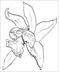Orchid Drawing
