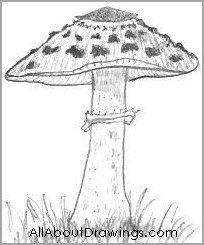 Young Parasol Mushroom Drawing